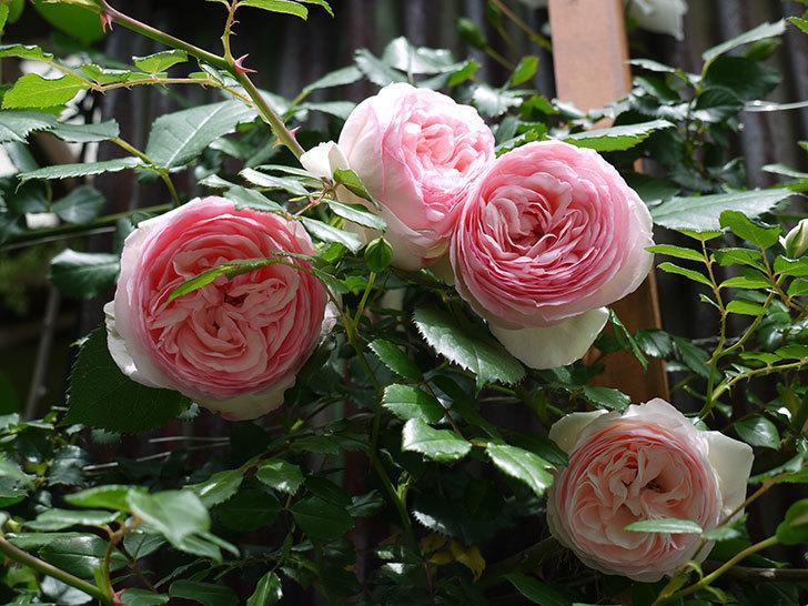 ピエール・ドゥ・ロンサール(ツルバラ)の花が増えてきた。2017年-14.jpg