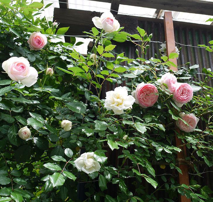 ピエール・ドゥ・ロンサール(ツルバラ)の花が増えてきた。2017年-15.jpg