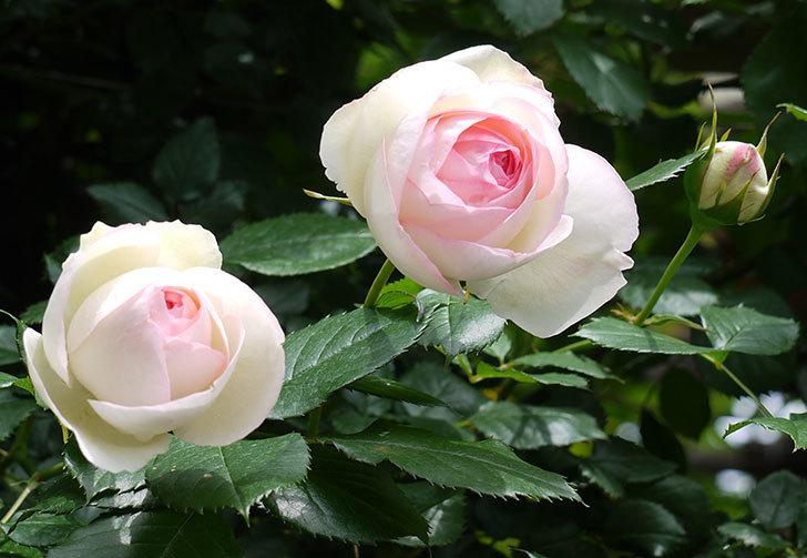 ピエール・ドゥ・ロンサール(ツルバラ)の花が増えてきた。2017年-16.jpg