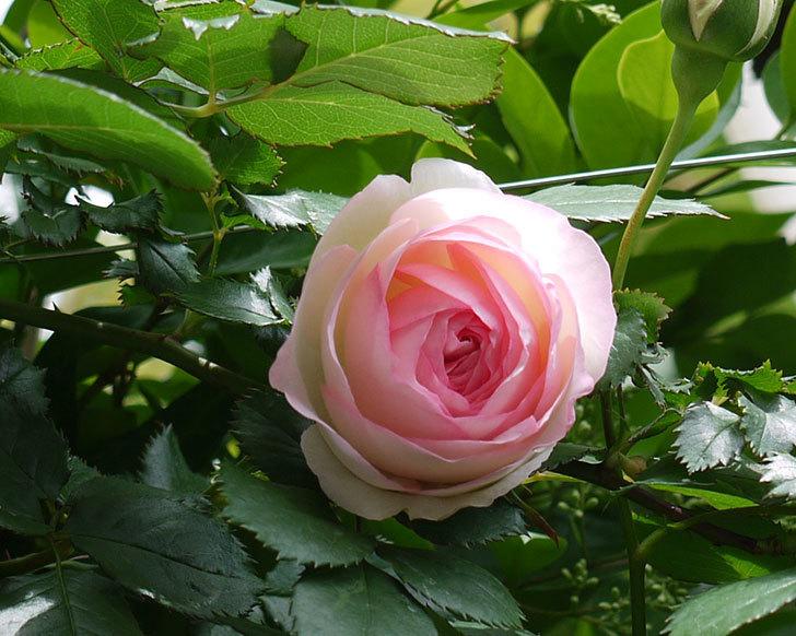 ピエール・ドゥ・ロンサール(ツルバラ)の花が増えてきた。2017年-17.jpg