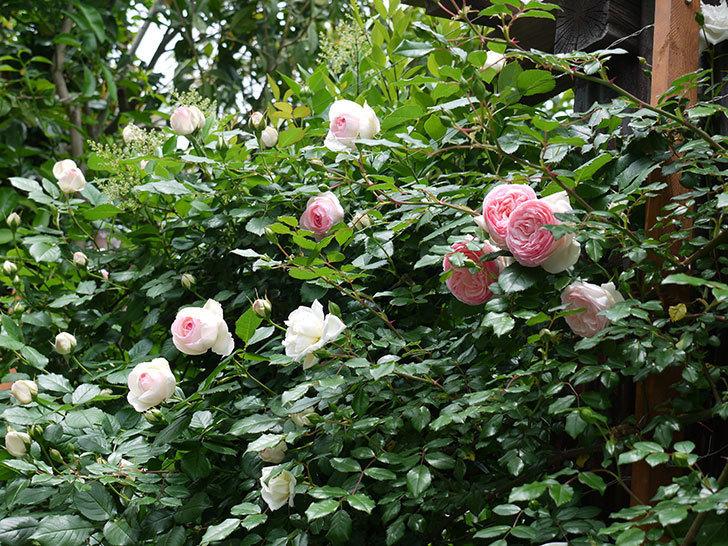 ピエール・ドゥ・ロンサール(ツルバラ)の花が増えてきた。2017年-18.jpg