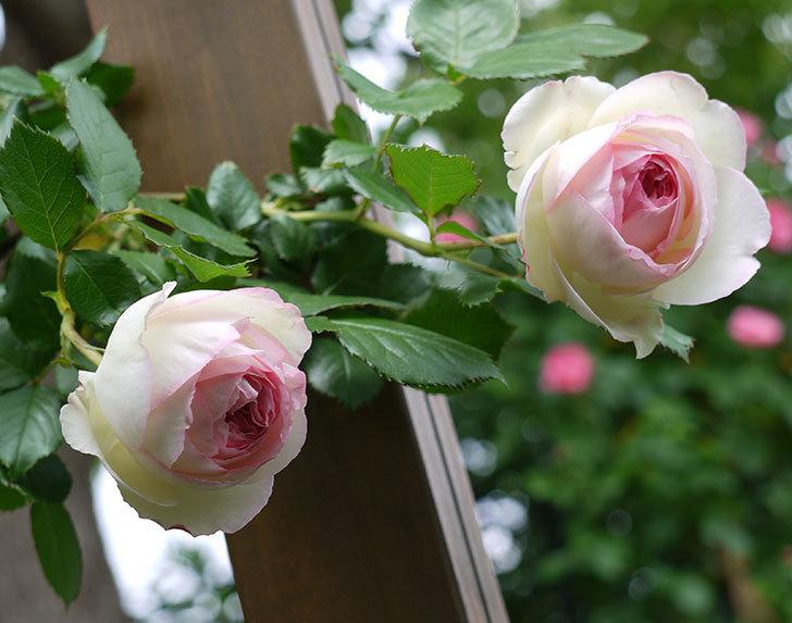 ピエール・ドゥ・ロンサール(ツルバラ)の花が増えてきた。2017年-19.jpg