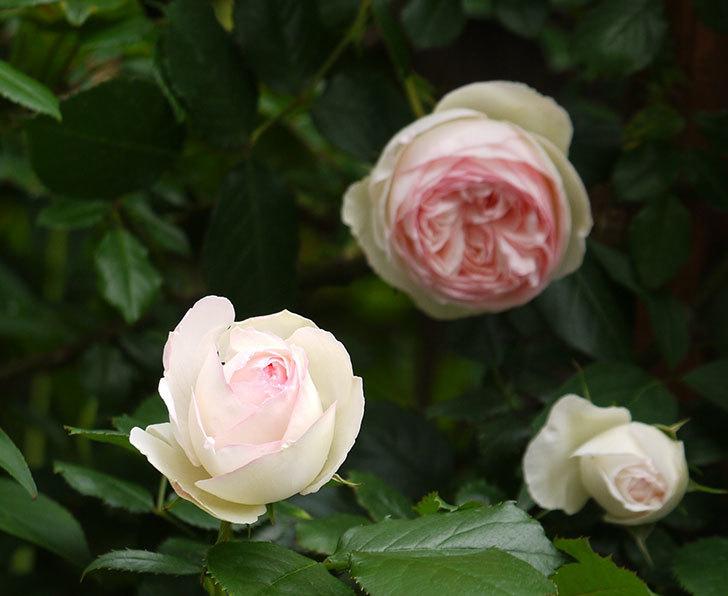 ピエール・ドゥ・ロンサール(ツルバラ)の花が増えてきた。2017年-2.jpg