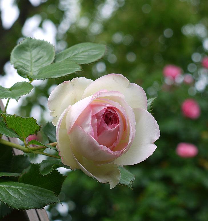 ピエール・ドゥ・ロンサール(ツルバラ)の花が増えてきた。2017年-20.jpg