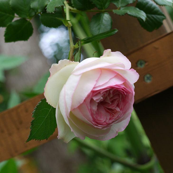ピエール・ドゥ・ロンサール(ツルバラ)の花が増えてきた。2017年-21.jpg