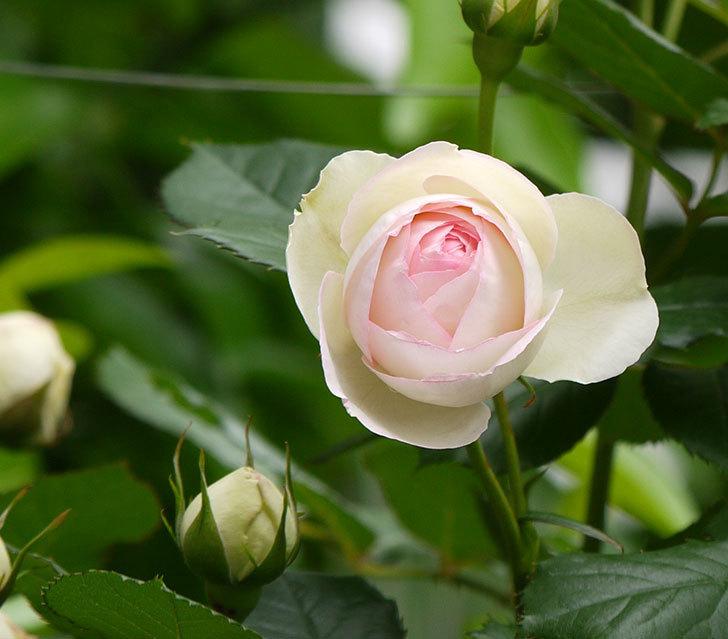 ピエール・ドゥ・ロンサール(ツルバラ)の花が増えてきた。2017年-3.jpg