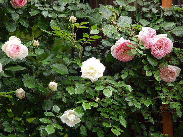 ピエール・ドゥ・ロンサール(ツルバラ)の花が増えてきた。2017年-4.jpg