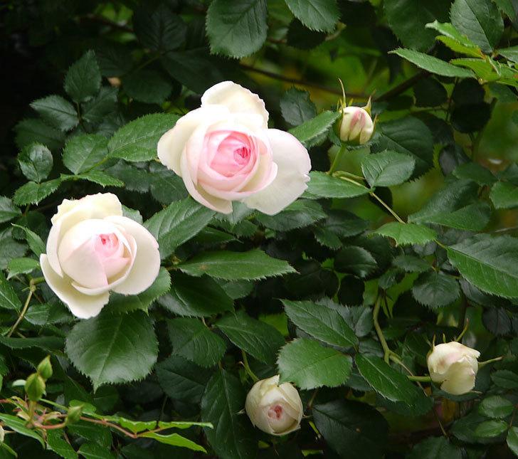 ピエール・ドゥ・ロンサール(ツルバラ)の花が増えてきた。2017年-5.jpg