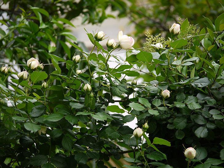 ピエール・ドゥ・ロンサール(ツルバラ)の花が増えてきた。2017年-6.jpg
