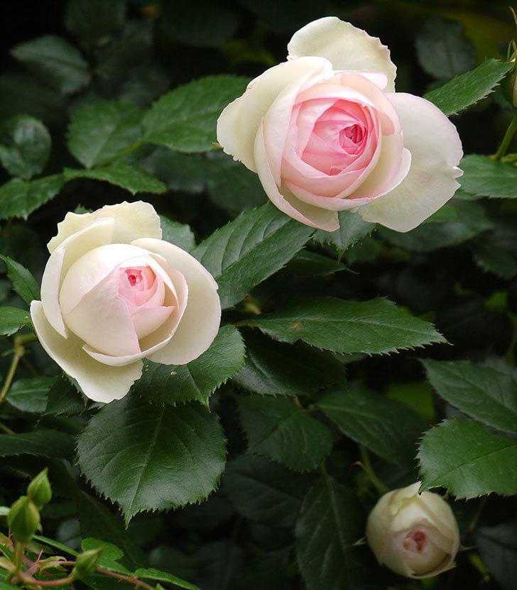 ピエール・ドゥ・ロンサール(ツルバラ)の花が増えてきた。2017年-7.jpg
