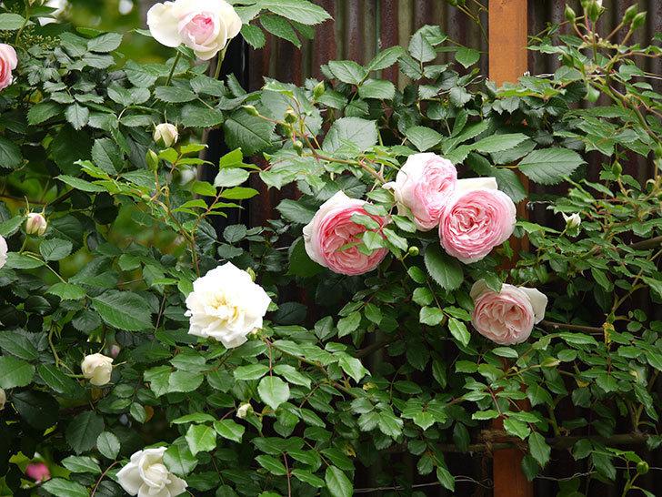 ピエール・ドゥ・ロンサール(ツルバラ)の花が増えてきた。2017年-8.jpg