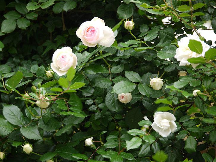 ピエール・ドゥ・ロンサール(ツルバラ)の花が増えてきた。2017年-9.jpg