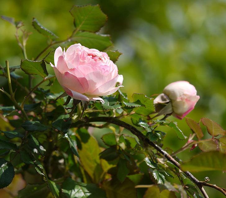 ピエール・ドゥ・ロンサール(ツルバラ)の花が増えてきた。2018年-1.jpg