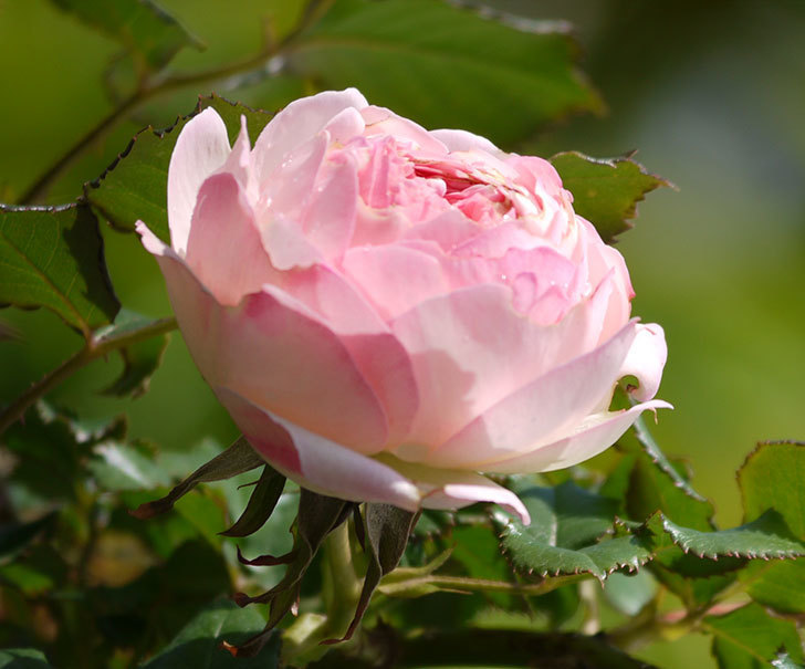 ピエール・ドゥ・ロンサール(ツルバラ)の花が増えてきた。2018年-2.jpg
