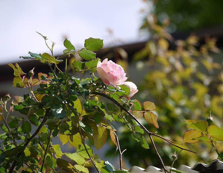 ピエール・ドゥ・ロンサール(ツルバラ)の花が増えてきた。2018年-3.jpg