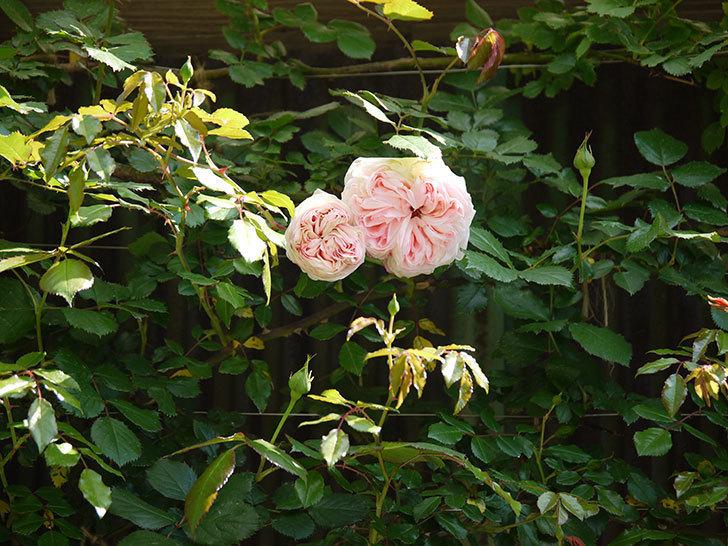ピエール・ドゥ・ロンサール(ツルバラ)の花が増えてきた。2018年-4.jpg