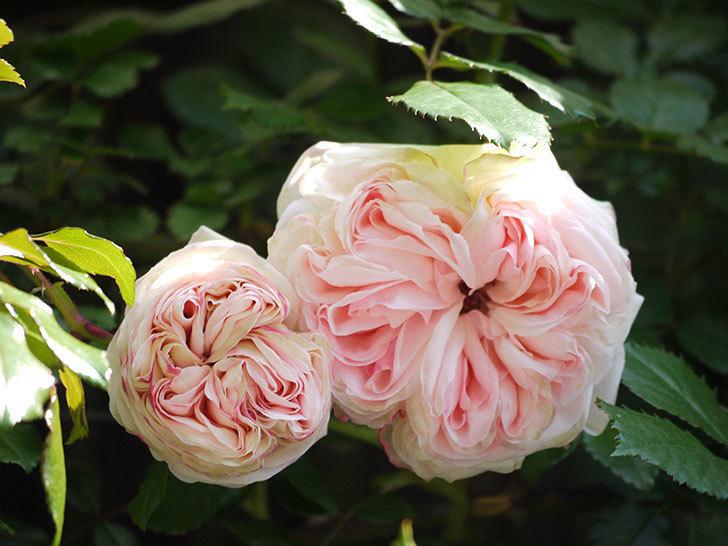 ピエール・ドゥ・ロンサール(ツルバラ)の花が増えてきた。2018年-5.jpg
