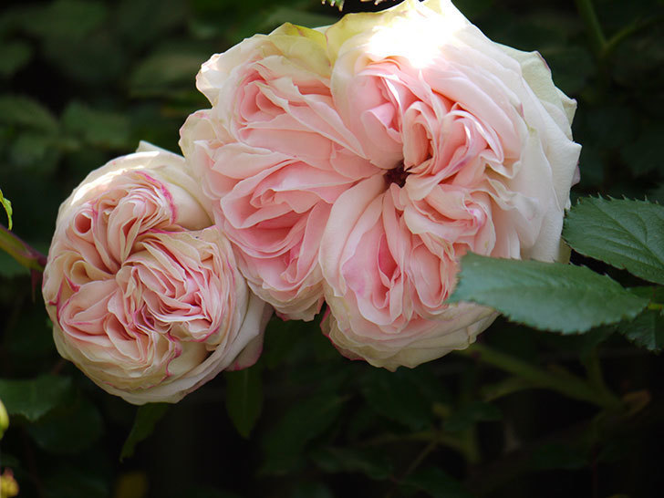 ピエール・ドゥ・ロンサール(ツルバラ)の花が増えてきた。2018年-6.jpg