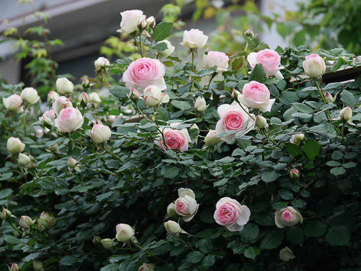 ピエール・ドゥ・ロンサール(ツルバラ)の花が増えてきた。2020年-1.jpg