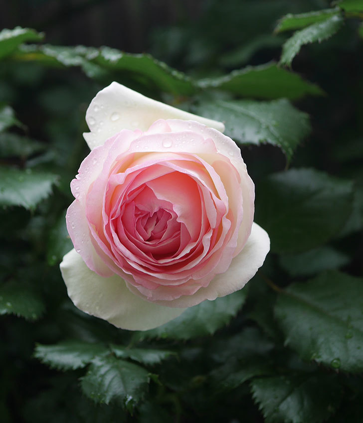 ピエール・ドゥ・ロンサール(ツルバラ)の花が増えてきた。2020年-10.jpg