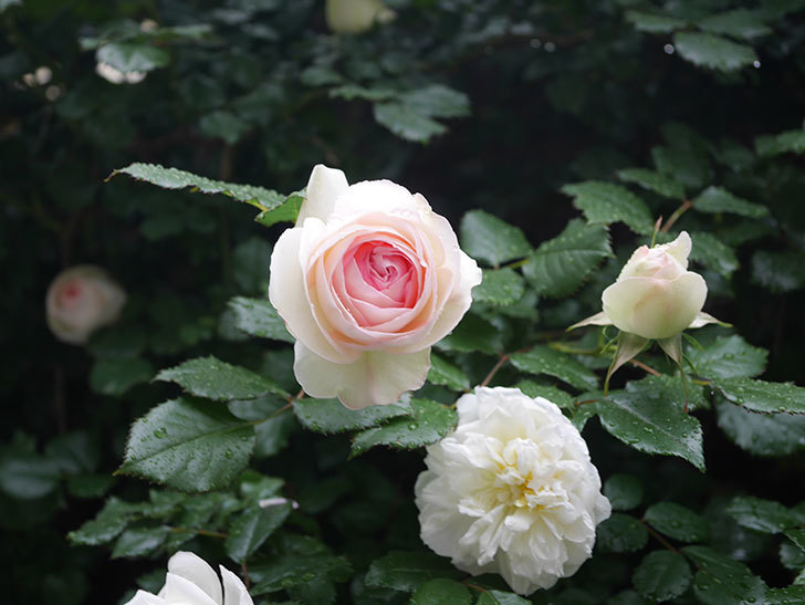 ピエール・ドゥ・ロンサール(ツルバラ)の花が増えてきた。2020年-11.jpg