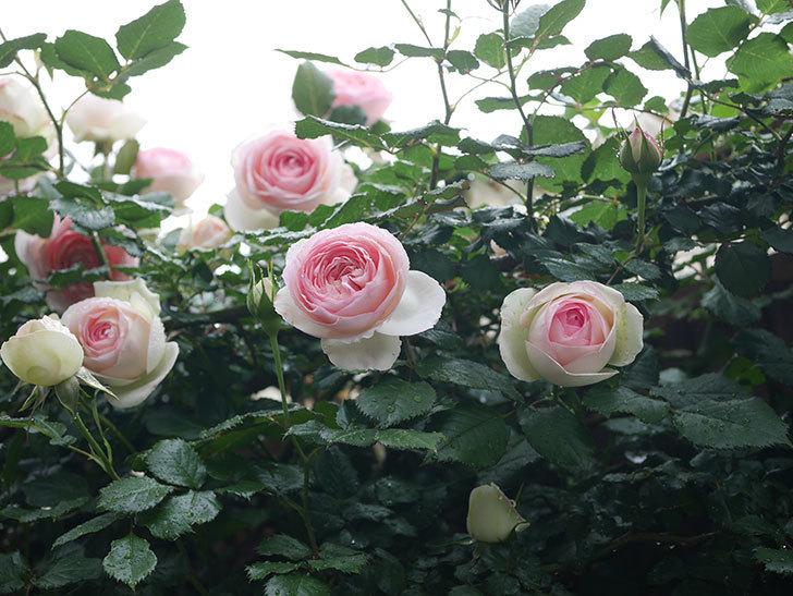 ピエール・ドゥ・ロンサール(ツルバラ)の花が増えてきた。2020年-12.jpg