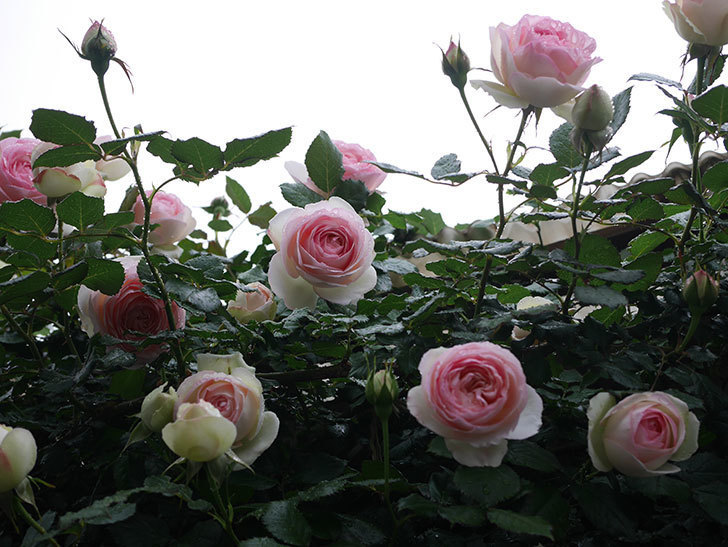 ピエール・ドゥ・ロンサール(ツルバラ)の花が増えてきた。2020年-13.jpg