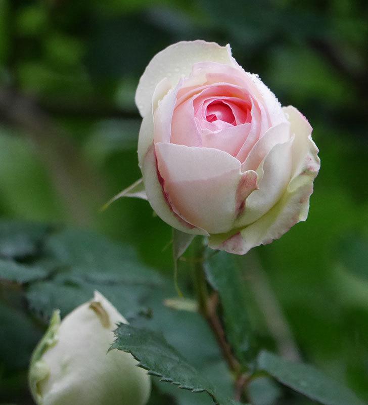 ピエール・ドゥ・ロンサール(ツルバラ)の花が増えてきた。2020年-2.jpg