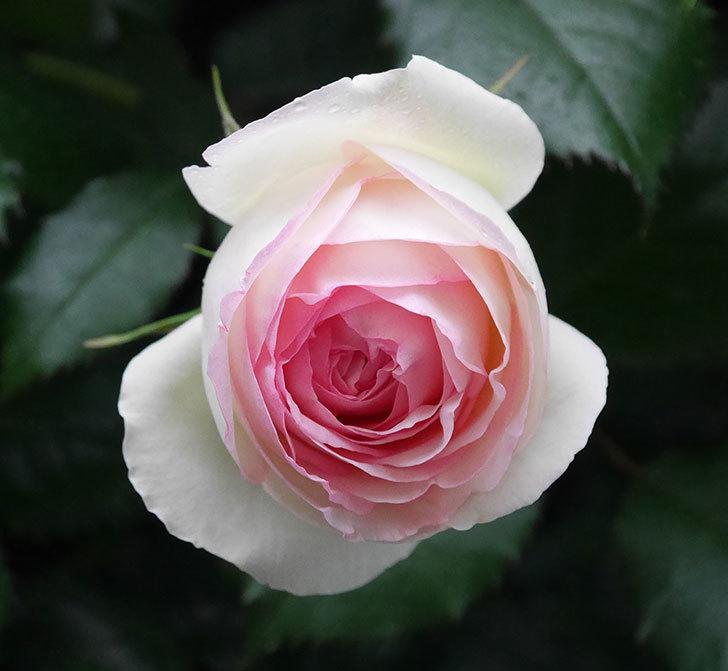 ピエール・ドゥ・ロンサール(ツルバラ)の花が増えてきた。2020年-3.jpg