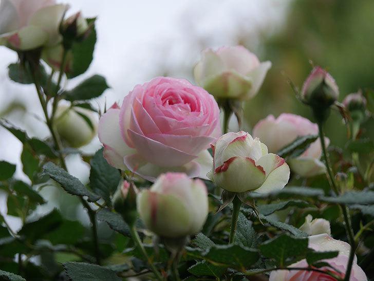 ピエール・ドゥ・ロンサール(ツルバラ)の花が増えてきた。2020年-4.jpg