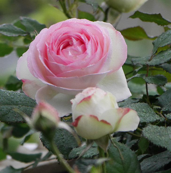 ピエール・ドゥ・ロンサール(ツルバラ)の花が増えてきた。2020年-5.jpg