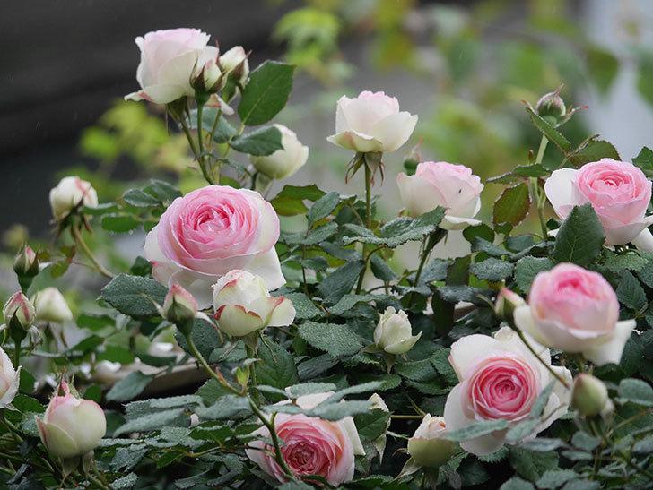 ピエール・ドゥ・ロンサール(ツルバラ)の花が増えてきた。2020年-6.jpg