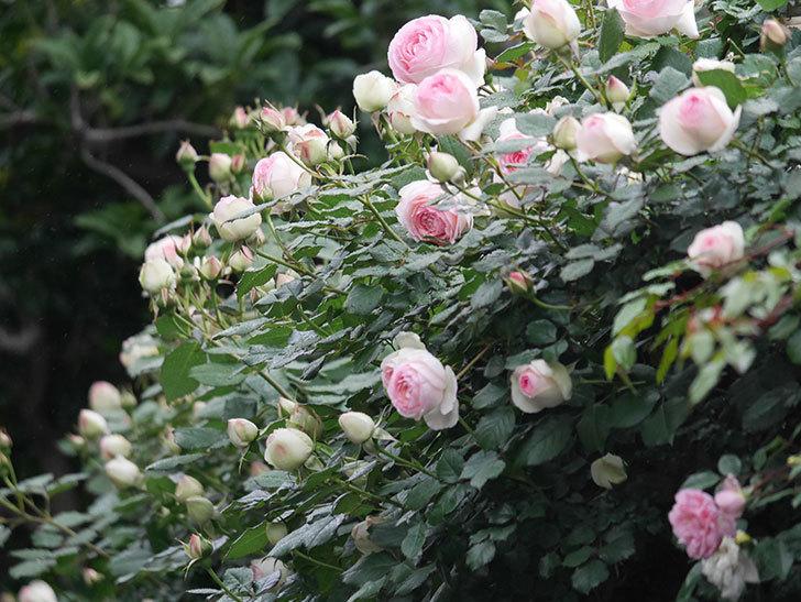 ピエール・ドゥ・ロンサール(ツルバラ)の花が増えてきた。2020年-7.jpg