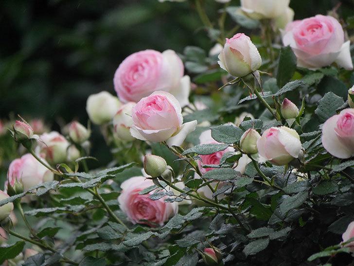 ピエール・ドゥ・ロンサール(ツルバラ)の花が増えてきた。2020年-8.jpg