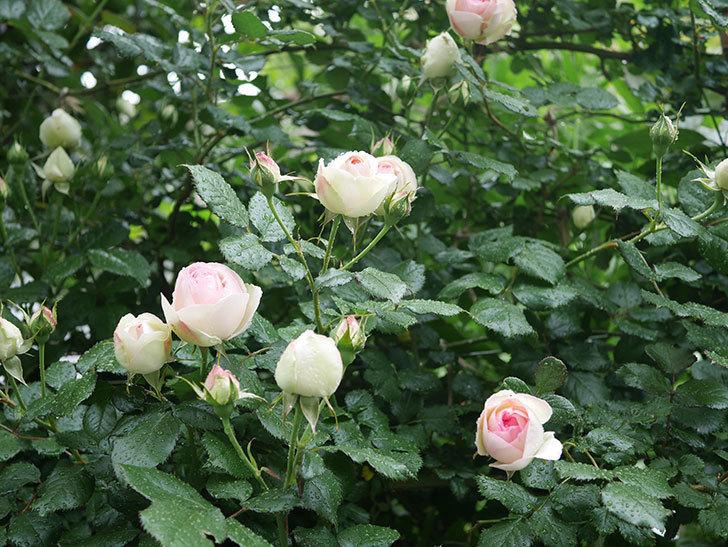 ピエール・ドゥ・ロンサール(ツルバラ)の花が増えてきた。2020年-9.jpg