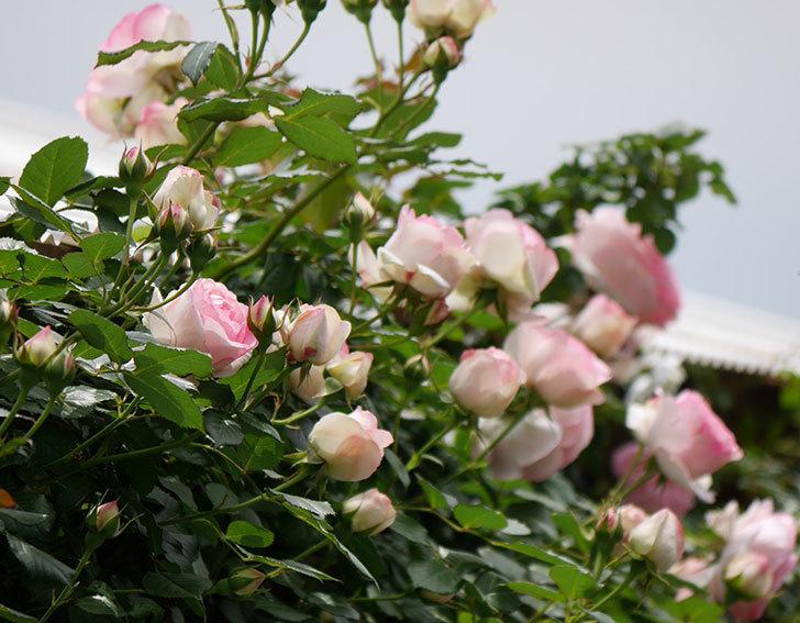ピエール・ドゥ・ロンサール(ツルバラ)の花が増えて来た。2019年-1.jpg