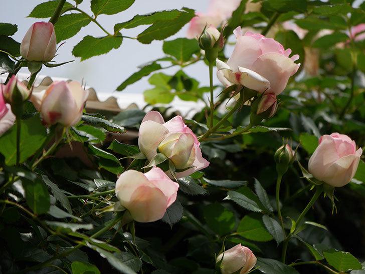 ピエール・ドゥ・ロンサール(ツルバラ)の花が増えて来た。2019年-11.jpg