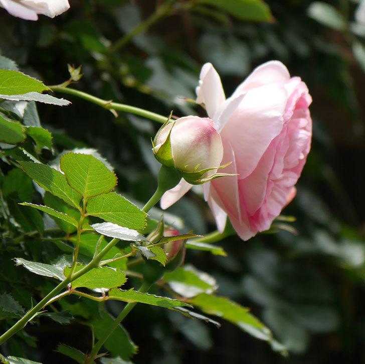 ピエール・ドゥ・ロンサール(ツルバラ)の花が増えて来た。2019年-12.jpg
