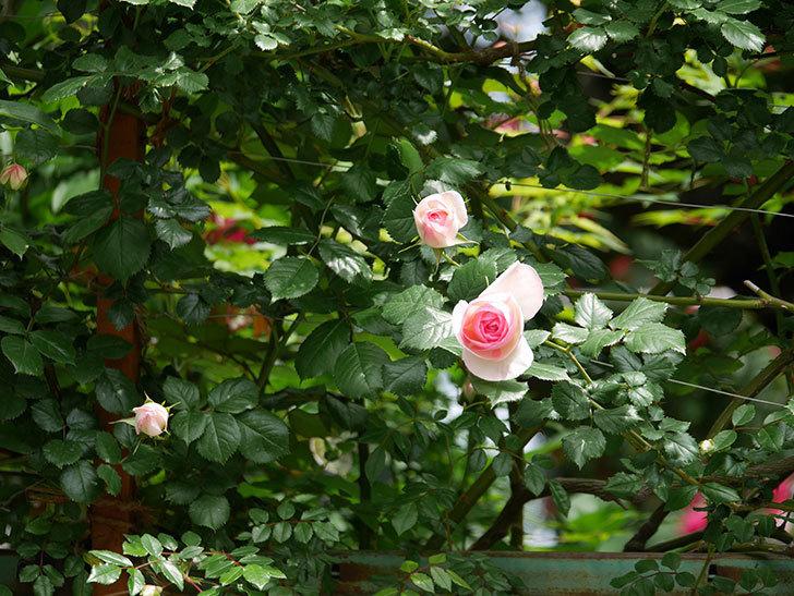 ピエール・ドゥ・ロンサール(ツルバラ)の花が増えて来た。2019年-13.jpg