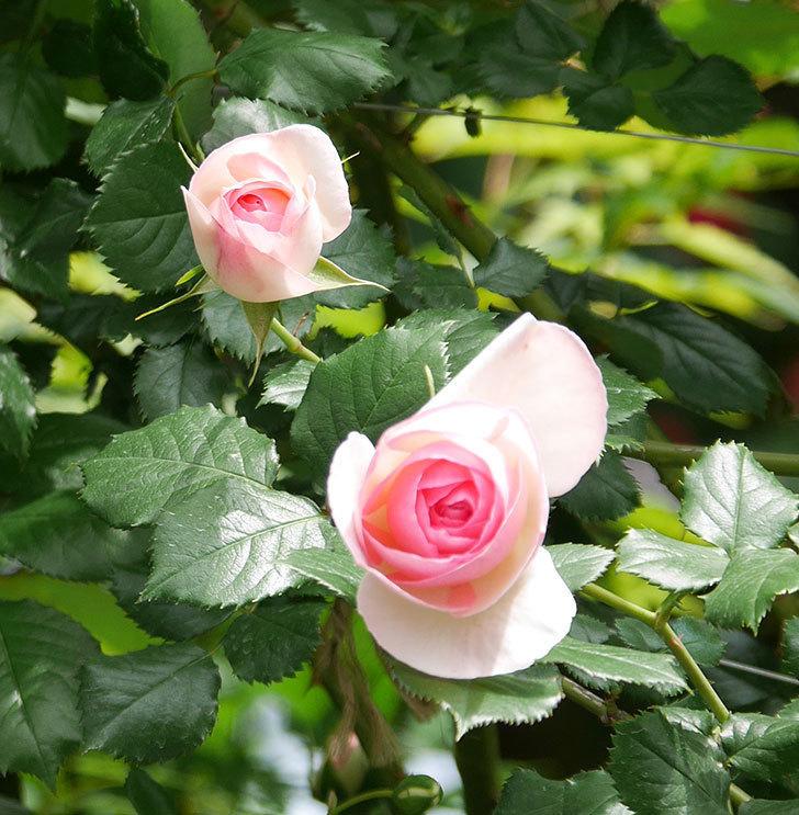 ピエール・ドゥ・ロンサール(ツルバラ)の花が増えて来た。2019年-15.jpg