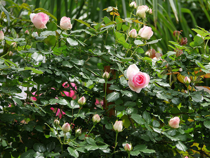 ピエール・ドゥ・ロンサール(ツルバラ)の花が増えて来た。2019年-16.jpg