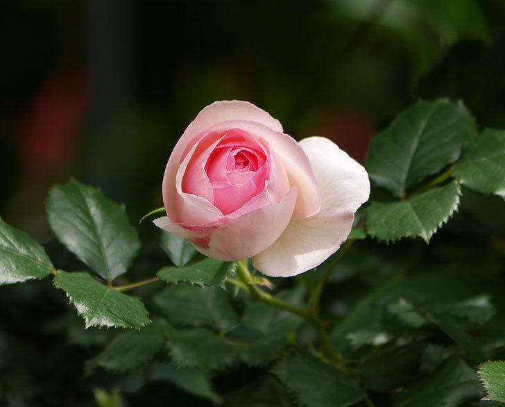 ピエール・ドゥ・ロンサール(ツルバラ)の花が増えて来た。2019年-17.jpg
