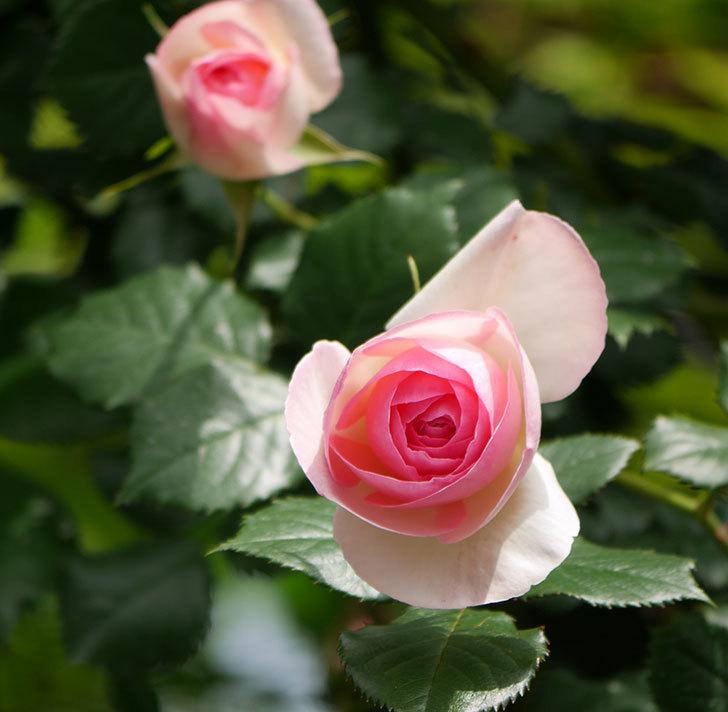 ピエール・ドゥ・ロンサール(ツルバラ)の花が増えて来た。2019年-18.jpg