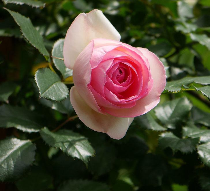 ピエール・ドゥ・ロンサール(ツルバラ)の花が増えて来た。2019年-19.jpg
