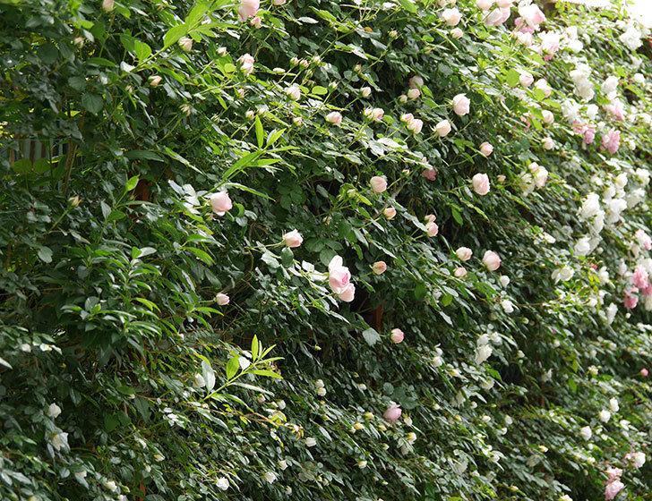 ピエール・ドゥ・ロンサール(ツルバラ)の花が増えて来た。2019年-2.jpg