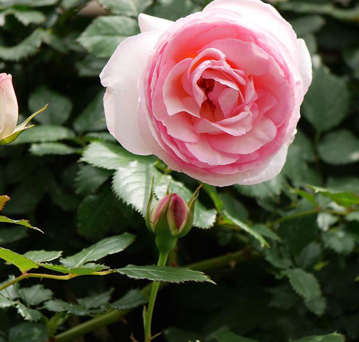 ピエール・ドゥ・ロンサール(ツルバラ)の花が増えて来た。2019年-21.jpg