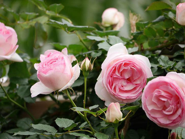 ピエール・ドゥ・ロンサール(ツルバラ)の花が増えて来た。2019年-22.jpg