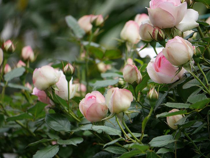 ピエール・ドゥ・ロンサール(ツルバラ)の花が増えて来た。2019年-23.jpg