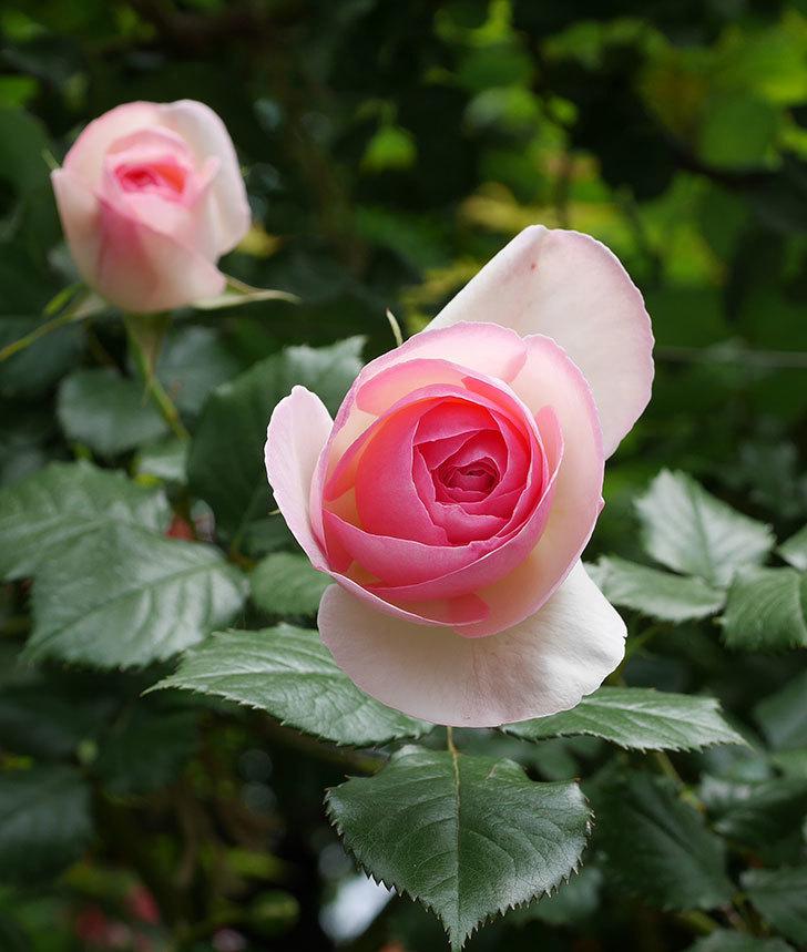 ピエール・ドゥ・ロンサール(ツルバラ)の花が増えて来た。2019年-26.jpg