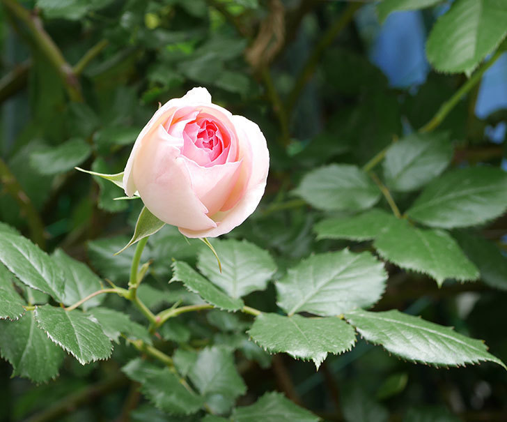 ピエール・ドゥ・ロンサール(ツルバラ)の花が増えて来た。2019年-27.jpg